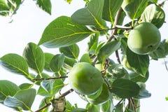 Oddolny widok, wiązki zielone surowe Persimmon round owoc i zieleń liście pod niebieskim niebem, kown jako heban owoc, jadalna zdjęcie royalty free