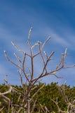 oddział objętych ice drzewo Zdjęcia Royalty Free
