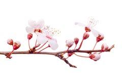 oddział wiosny śliwkowy drzewo Zdjęcie Royalty Free