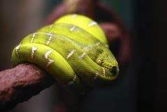 oddział zwinięta zielony wąż tropical Zdjęcie Stock