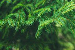 oddziały świerczynę Świerczyna w lesie na słonecznym dniu Bożych Narodzeń Tree jodła Obraz Royalty Free