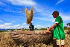 Oddzielający od irlandczyków ryż groszkuje z uderzeniem Zdjęcia Stock