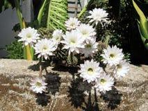 Oder Yehuda Cactus Flower August 2008 Lizenzfreie Stockfotos
