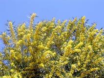Oder Yehuda-Mimose im März 2005 Lizenzfreies Stockbild