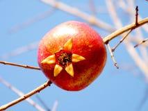 Oder Yehuda Pomegranate lokalisierte 2011 Lizenzfreies Stockbild