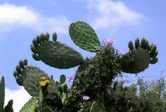Oder Yehuda Sabra Cactus June 2005 Lizenzfreies Stockfoto