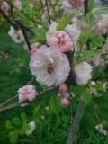 Odessa Sakura royalty-vrije stock afbeeldingen