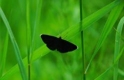 Odezia atrata. A chimney sweeper moth odezia atrata resting on grass Stock Images