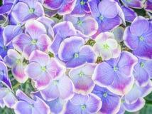 Odgórny widok kolorowy, purpura lub błękit z białą krawędzi hortensją, kwitniemy kwitnienie, natura wzory dla tła zdjęcie stock