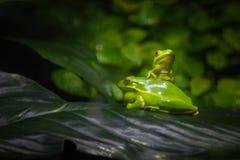 Odgórna żaba fotografia stock