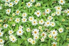 Odgórnego widoku białej stokrotki kwitnienia grupa w ogródzie obrazy royalty free