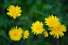 Odgórnego widoku dandelion pogodni żółci kwiaty, zamykają up Obrazy Stock