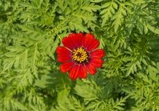 Odgórnego widoku jeden czerwony kwiat Obrazy Stock