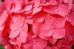 Odgórnego widoku kwiatów kolorowej czerwonej hortensji kwitnąca tekstura, natura wzory dla tła zdjęcie stock