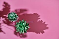 Odgórnego widoku strzału tłustoszowata roślina Echeveria, zielony liścia Monstera rośliny filodendron z cieniami na różowym tle obrazy royalty free