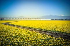 Odgórnego widoku wyginająca się wijąca ścieżka w daffodil gospodarstwie rolnym przy Skagit doliną zdjęcie royalty free