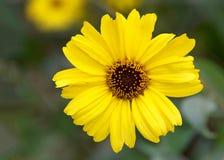 Odgórnego widoku Z podbitym okiem Susan kwiat obraz stock
