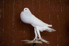 Odgórny Angielski garłacza gołąb Fotografia Royalty Free