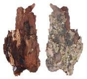 Odgórny i dolny widok czerep osikowa drzewna przegniła barkentyna z kolonią narastający lasowy liszaj odosobniony obrazy stock