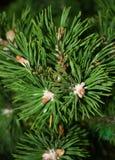 odgórny jodły drzewo Zdjęcie Stock