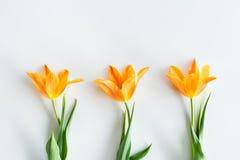 Odgórny widok żółci tulipany w rzędzie odizolowywającym na bielu Obraz Stock