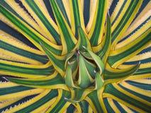 Odgórny widok, agawa americana, sentry roślina Zdjęcia Royalty Free