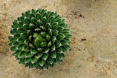 Odgórny widok agawa Wiktoria w ogródzie botanicznym Zdjęcie Royalty Free