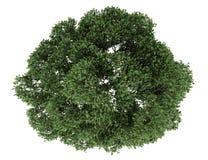 Odgórny widok angielski dębowy drzewo odizolowywający na bielu ilustracji