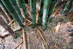 Odgórny widok bambus na suchym liściu jako tło fotografia royalty free