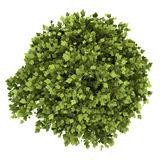 Odgórny widok bonsai roślina w garnku odizolowywającym na bielu Obrazy Stock