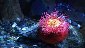 Odgórny widok czerwony rybi łasowanie anemon zdjęcie wideo