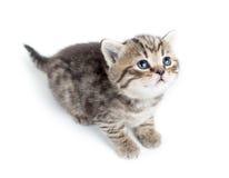 Odgórny widok dziecko kota figlarka na bielu Fotografia Stock