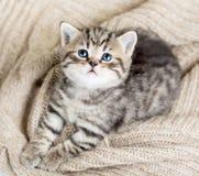 Odgórny widok dziecko kota figlarka na bydle Fotografia Royalty Free