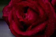 Odgórny widok i zamyka w górę wizerunku na jaskrawych menchii wody i róży kroplach Fotografia Royalty Free