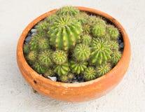 Odgórny widok kaktus Obraz Royalty Free