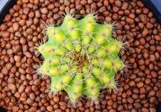 Odgórny widok kaktus Fotografia Royalty Free