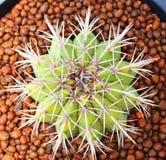 Odgórny widok kaktus Fotografia Stock