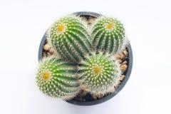 Odgórny widok kaktus w garnku Zdjęcie Stock