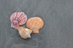 Odgórny widok kolorowe skorupy na ciemny piaskowatym na tropikalnej plaży dla tła Zdjęcia Royalty Free