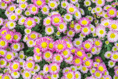 Odgórny widok kwiaciarni Mun kwiatu tła, menchii i bielu flowe, Zdjęcie Stock