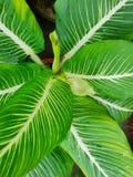 Odgórny widok liścia Wiecznozielony lub Aglaonema Chiński modestum jako tło Obrazy Royalty Free