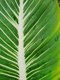 Odgórny widok liścia Wiecznozielony lub Aglaonema Chiński modestum jako tło Fotografia Stock