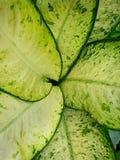 Odgórny widok liścia Wiecznozielony lub Aglaonema Chiński modestum jako tło Zdjęcie Stock