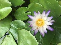Odgórny widok Lotus w stawie jako tło Obrazy Stock