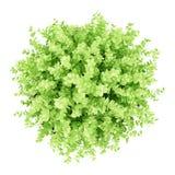 Odgórny widok mała boxwood roślina odizolowywająca na bielu Obrazy Stock
