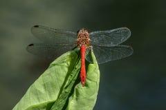 Odgórny widok makro- czerwony dragonfly Obrazy Royalty Free