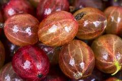 Odgórny widok mokra czerwona agrestowa owoc Zdjęcia Stock