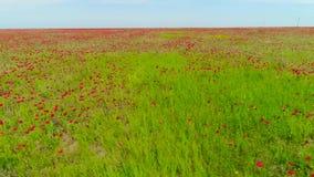 Odgórny widok na pięknym czerwonym maczka polu strza? Piękny krajobrazowy natury pole kwitnący maczek na niebieskiego nieba tle zbiory wideo