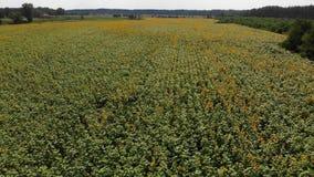Odgórny widok na słonecznika polu od trutnia, rusza się przez żółtego pole zdjęcie wideo