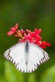 Odgórny widok Pasiasty albatrosa motyl (Appias libythea olferna) Obrazy Royalty Free